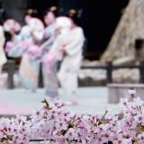 Arima Cherry Blossom Festival